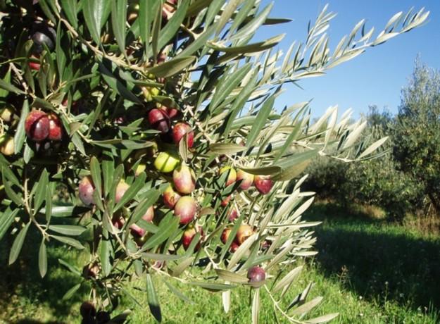 dop_oli_de_la_terre_alta_fruits_de_la_terra