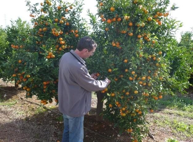 igp_clementines_de_les_terres_de_lebre_fruits_de_la_terra