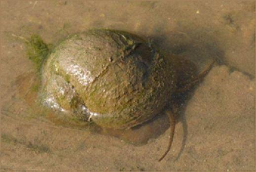 Cargol poma a Palau Sator