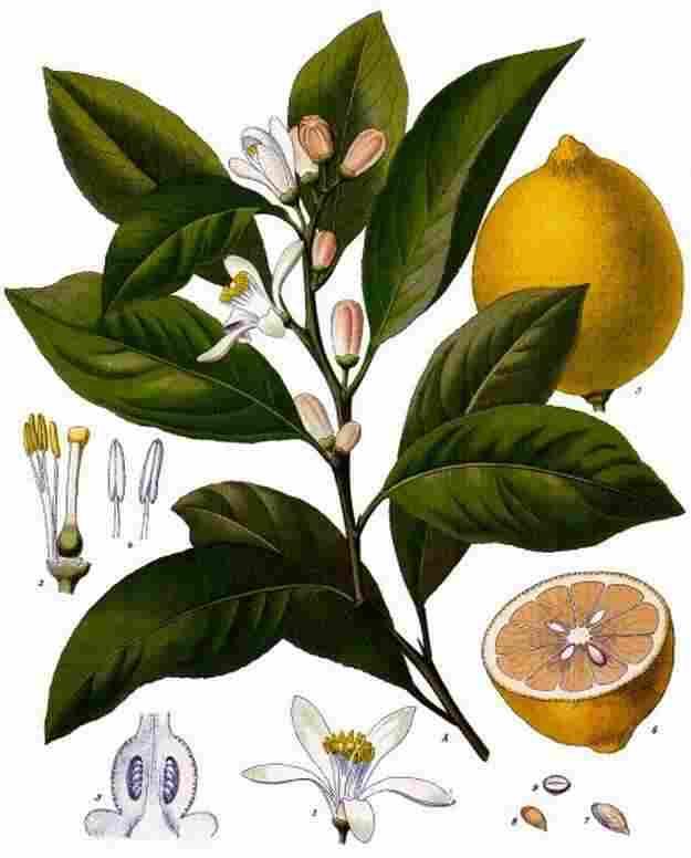 citrus_x_limon_-_kc3b6hlere28093s_medizinal-pflanzen-041