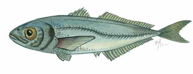 El sorell: un peix amb mala premsa 02