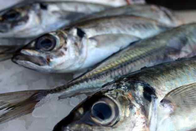 El sorell: un peix amb mala premsa 01