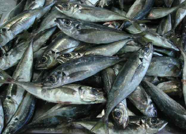 El sorell: un peix amb mala premsa 03